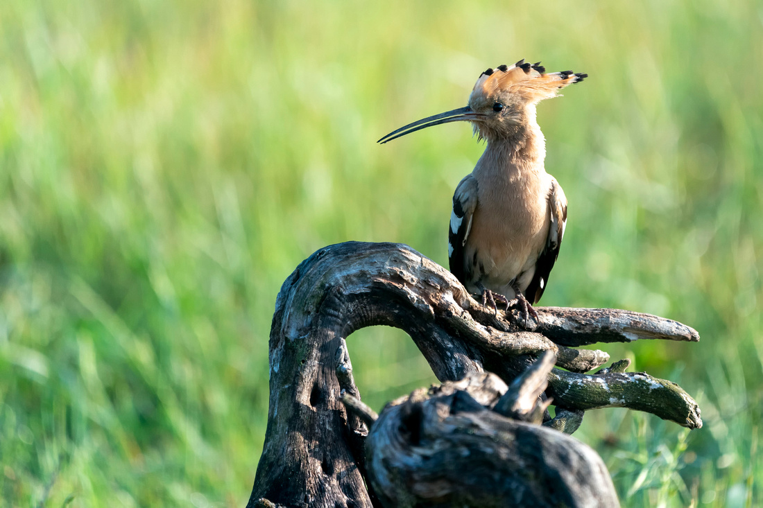 004 Hoopoe © Bob Riach Jigsaw Photography Ltd