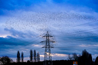 001 Starling Murmuration © Bob Riach