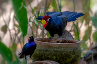 Violet Turaco With Glossy Starling © Bob Riach