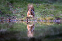 008 Red Squirrel  Reflection Yorkshire © Bob Riach