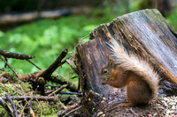 030 Red Squirrel © Bob Riach