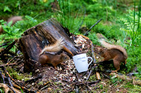 two  Red Squirrels Pepperells Mug © Bob Riach
