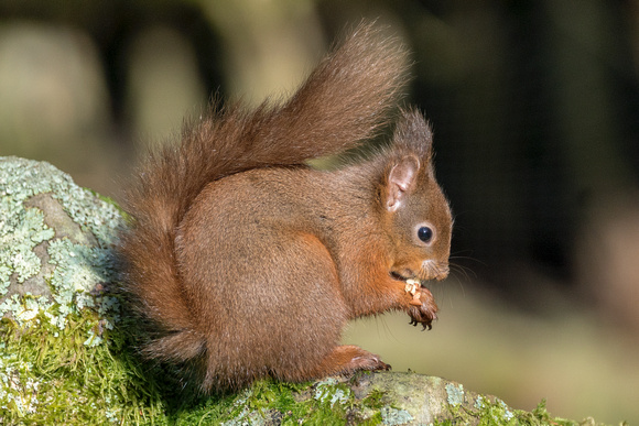 Red squirrel 7 18 @ jo bird