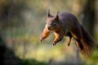 006 Red Squirrel Jump  Yorkshire © Bob Riach