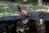 001 Red Squirrel Yorkshire © Bob Riach