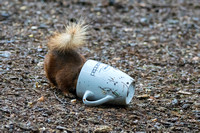 021 Red Squirrel Pepperells Mug © Bob Riach