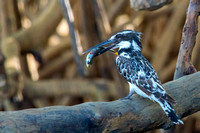 Pied Kingfisher With Fish © Bob Riach