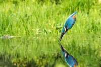 a 03 Kingfisher out of Water Reflection © Bob Riach