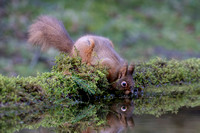 Eye Eye Red Squirrel Yorkshire © Bob Riach