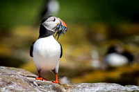 Puffin With Fish Supper © Bob Riach
