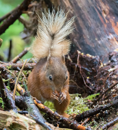 Little red squirrel @ Jo Bird