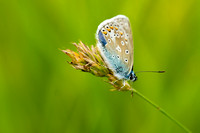Common Blue Butterfly 2 © Bob Riach